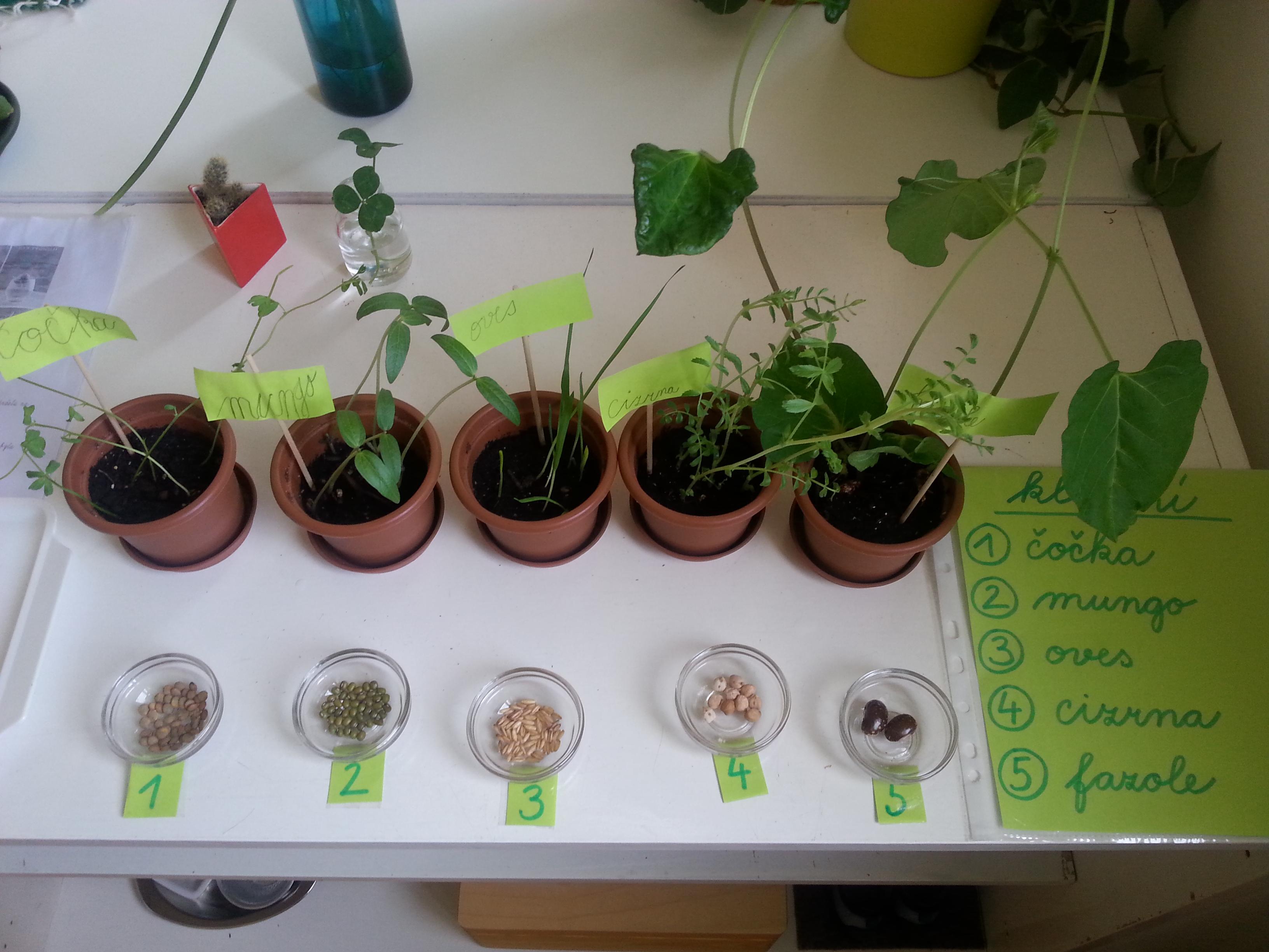 klíčení semínek